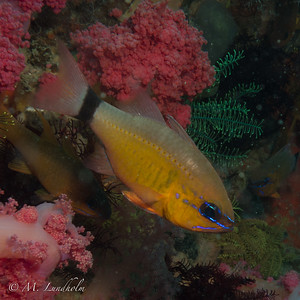 Ring-Tail Cardinalfish