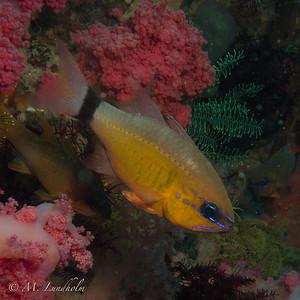 Ring-Tail Cardinalfish