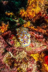 Nudibranch (Goniobranchus geminus)