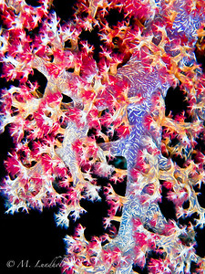 Soft Coral Close-Up