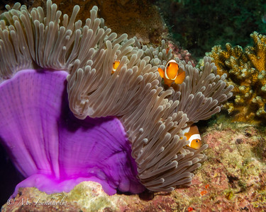 Sea Anemone & Clown Anemonefish