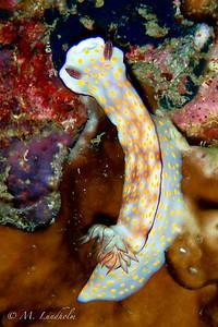 Nudibranch (Hypselodoris pulchella)