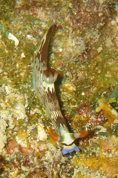 """Colourful <a href=""""http://en.wikipedia.org/wiki/Nudibranch"""">nudibranch</a> (the """"ch"""" is pronounced """"k""""). Pulau Aur, like Tioman, is excellent for macro wildlife (i.e. the small stuff)."""