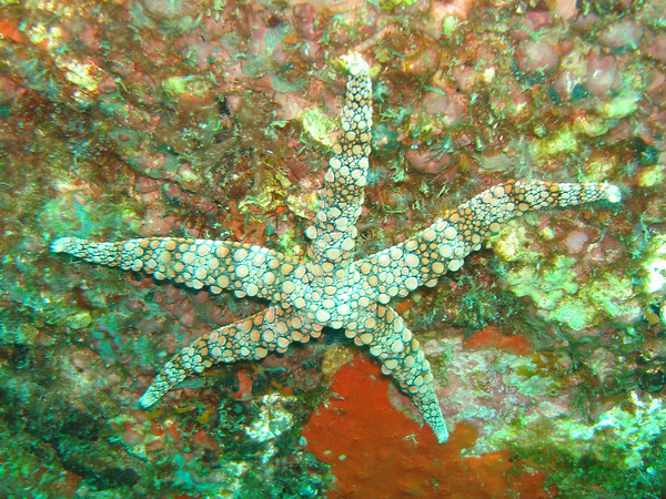 This starfish was about 45cm across.