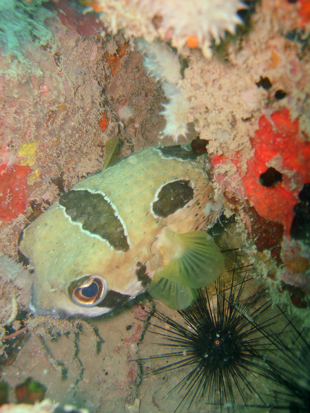 This pufferfish - about 40cm in length - was very reclusive; I was lucky to get a picture as it backfinned into its hiding place.