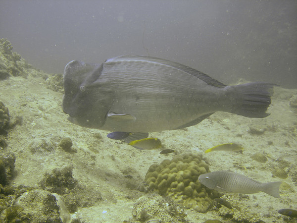 This bump head parrot fish, with its small entourage, was completely unperturbed at having me finning alongside, and we swam together for several minutes