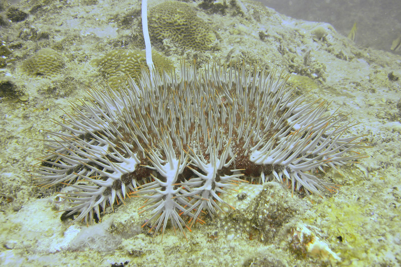"""<a href=""""http://en.wikipedia.org/wiki/Crown-of-thorns_starfish"""">Crown of Thorns</a> starfish. In isolation, they're quite attractive, but in large numbers, with its voracious appetite for hard corals, it can devastate a reef. There are volunteer organisation to help clear up outbreaks, but it appears these have not been terribly successfull: <a href=""""http://www.reef.crc.org.au/publications/explore/feat45.html"""">see link</a>."""