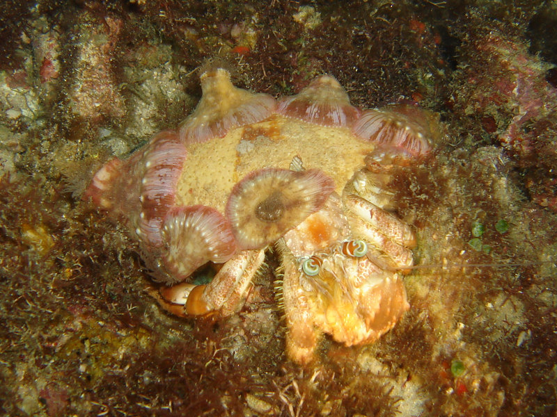 This hermit crab was about 6-8 inches across, and looks stoned with its eyes going all over the place.