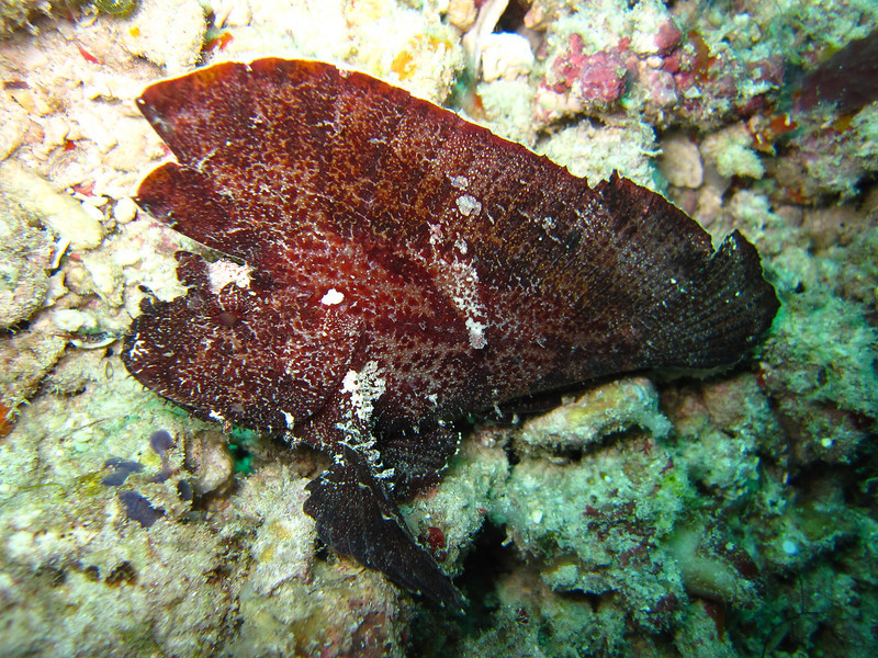 Another Leaf Scorpionfish. We saw a few colour varieties.