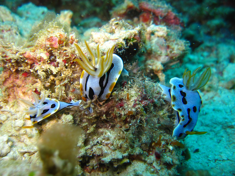 A family of Diana's Chromodoris nudibranchs.