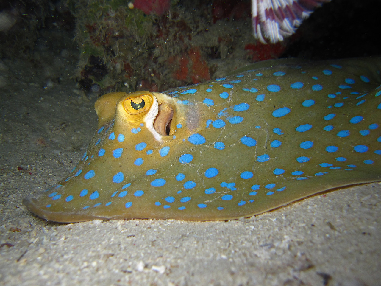 Blue-spotted Ribbontail Ray hiding under the coral.