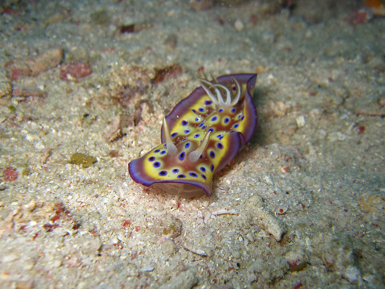 Kune's Chromodoris nudibranch. See the mouth just under his wavy skirt.