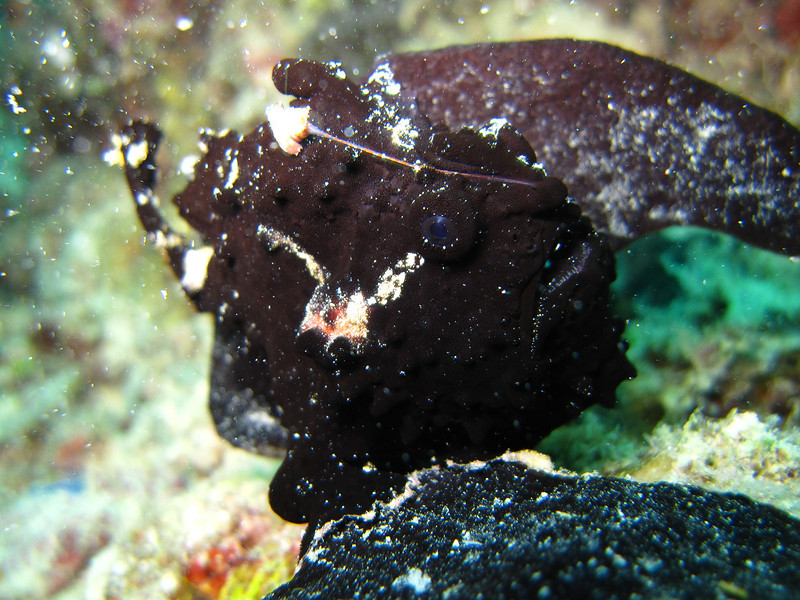 Painted Frogfish in the black phase.