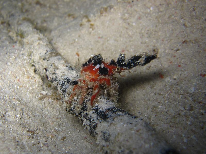 A crusty little crab (about 4cm).