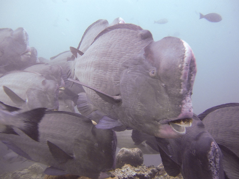 I was right in the middle of this oncoming school of Bumphead Parrotfish.