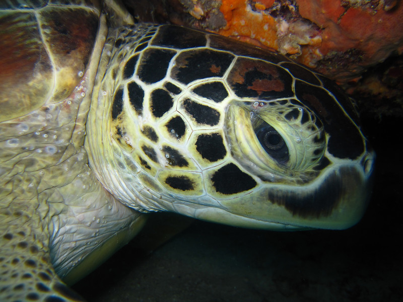 This turtle looks a bit grumpy at being disturbed from his slumber.