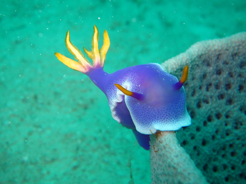 A Giant Hypselodoris nudibranch surmounting a coral wall.