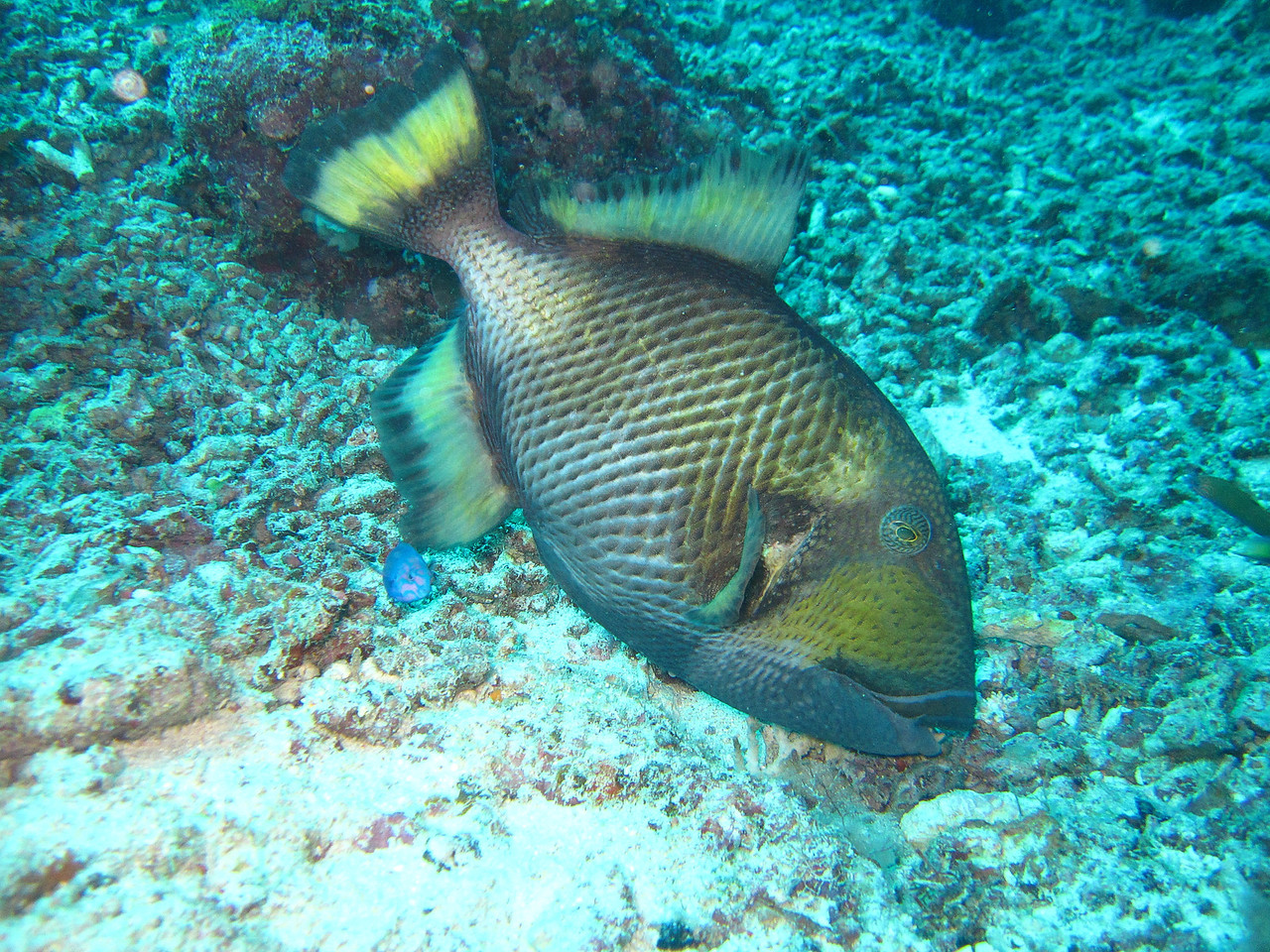 There were a lot of Titan Triggerfish around, but they were in a very docile mood.