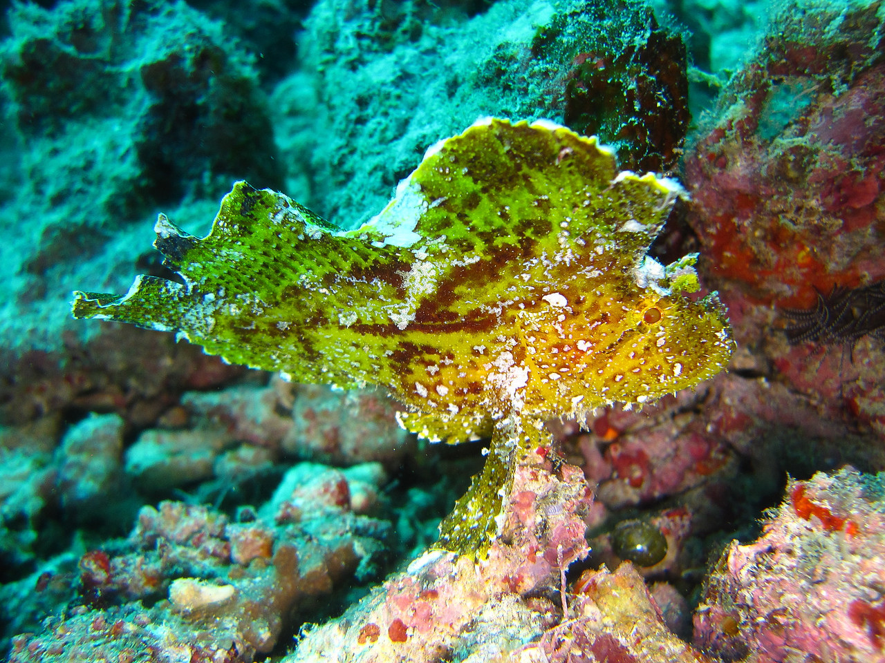 This is a Leaf Scorpionfish, so called because of its appearance and behaviour; it rocks about in the current just like a dead leaf.