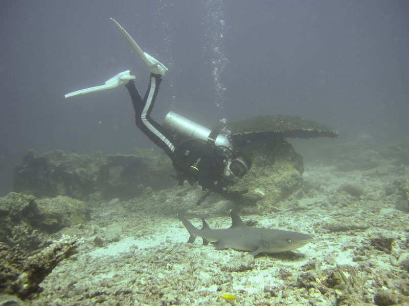 Michelle sneaking up on a Whitetip Reef Shark. Not always advisable...