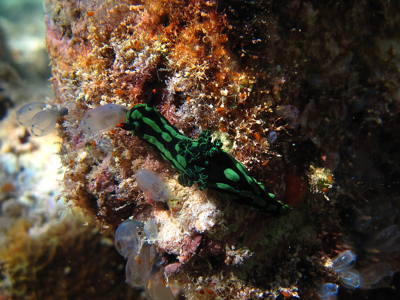 After diving, one must stay at sea level for 24 hours before flying, so on our last day we went snorkeling for a couple of hours. There was a multitude of life just swimming around underneath our rooms, including this Dusky Nembrotha nudibranch.