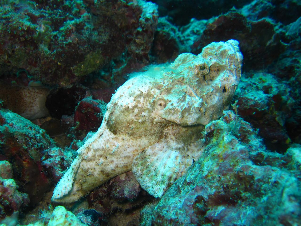 Devil Scorpionfish. The most evil fish in the sea?
