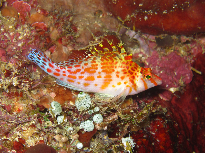 Dwarf Hawkfish standing guard just like a colourful little guard dog.
