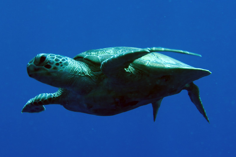 Green? turtle gliding before crash landing into his resting place (they're extremely clumsy landers).