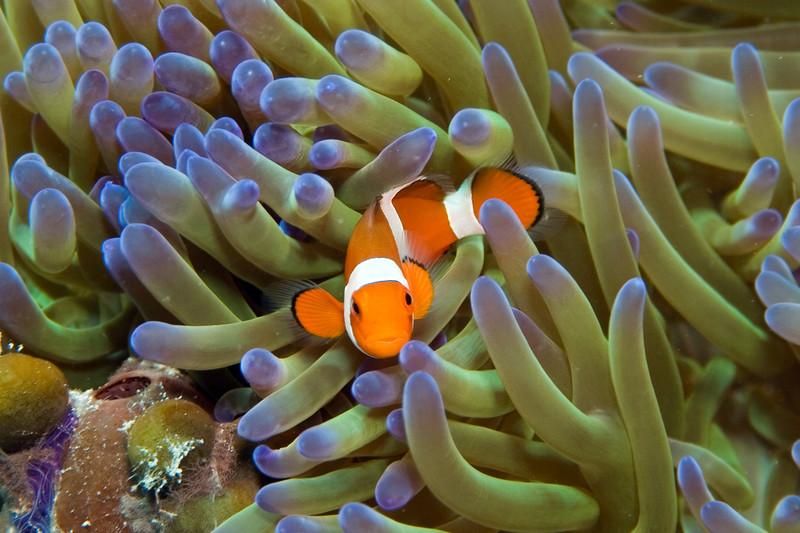 Amphiprion ocellaris (false clown anemonefish).