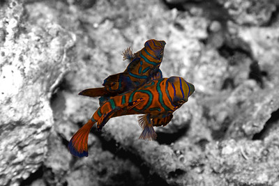 Spawning Synchiropus splendidus (mandarinfish). Every day, they come out just before dusk in the same place. The male and several females play a game of hide-and-seek peeking at each other round the rocks until the light starts to completely fall off. Then they start to come together, and as they perform, they shiver and float upwards. However, they won't do it if a light is shining on them, so one has to wait until they start the act, then swing the camera focus light across, focus, and get a picture all quite quickly. Not as simple as it might sound!