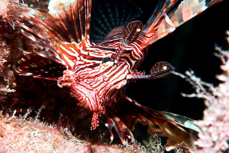 Pterois volitans (common lionfish), posing.