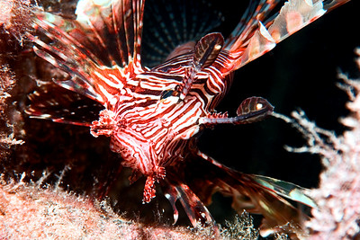 Pterois volitans (common lionfish), posing.