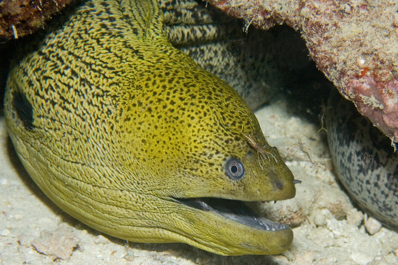 Gymnothorax flavimarginatus (yellowmargin moray eel). Notice the cleaner shrimps - one on his nose, two swimming to the right, and is that another one just under the start of his neck? This chap was hiding out near to Kapalai's house reef.