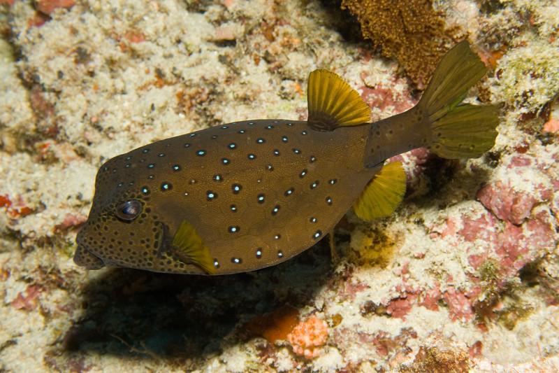 Ostracion meleagris (spotted boxfish).
