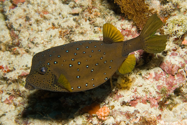 Ostracion meleagris (spotted boxfish).