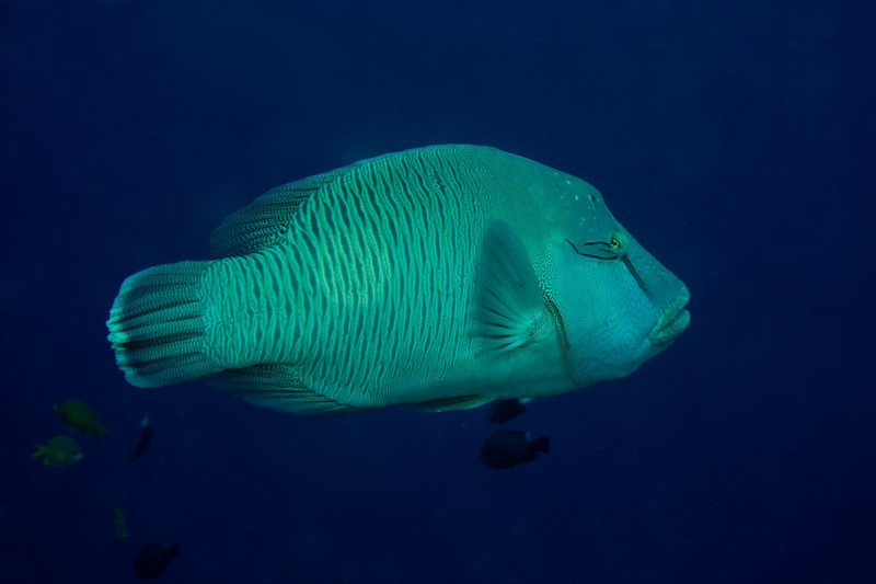 Cheilinus undulatus (napoleon, aka maori, aka humphead wrasse). The blue water has not been touched up - Sipadan's visibility really was that good!