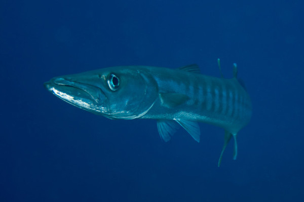 Sphyraena ??? (??? barracuda).