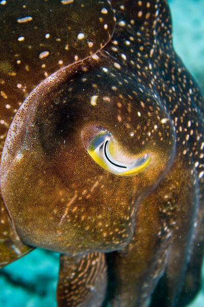 The eye of the cuttlefish. This fellow let me get to within three inches whilst he was signalling to me by changing colour. It did cross my mind whether he thought of me as a mate, but I declined to take it any further...