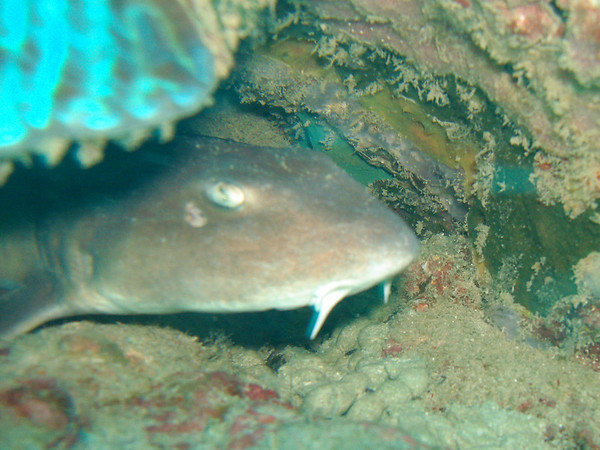 Baby chiloscyllium griseum (grey bamboo shark) hiding out beneath overhanging coral.