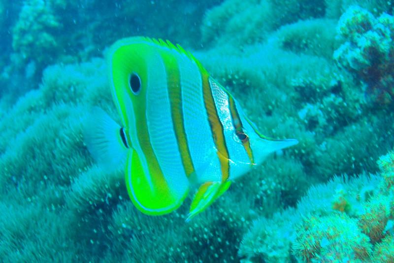 Chelmon rostratus (copper-band butterflyfish).