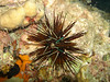 Diadema savignyi (long-spined sea urchin).