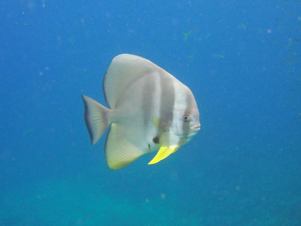 Platax teira (Teira batfish).
