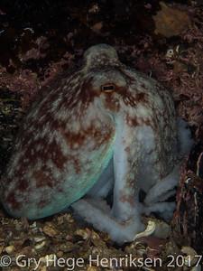 Octepus