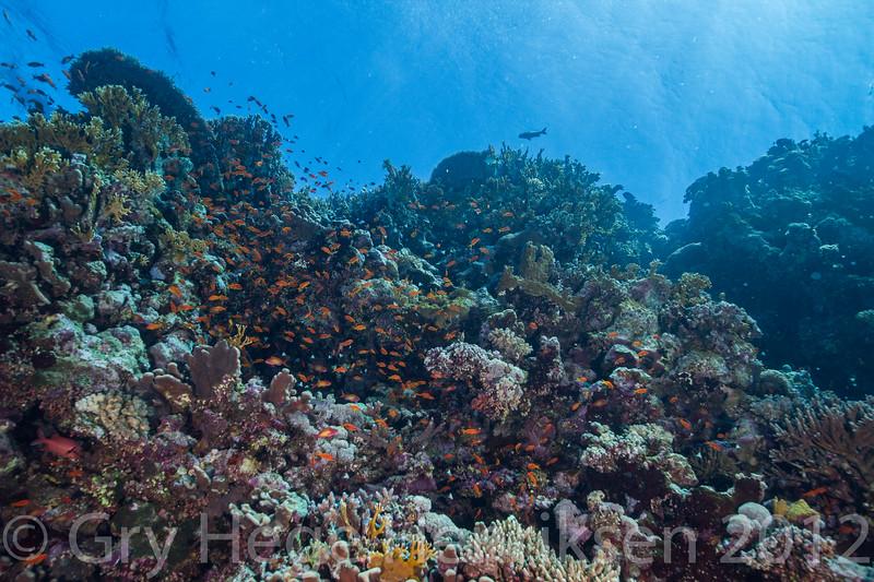 Coral reef, Redsea