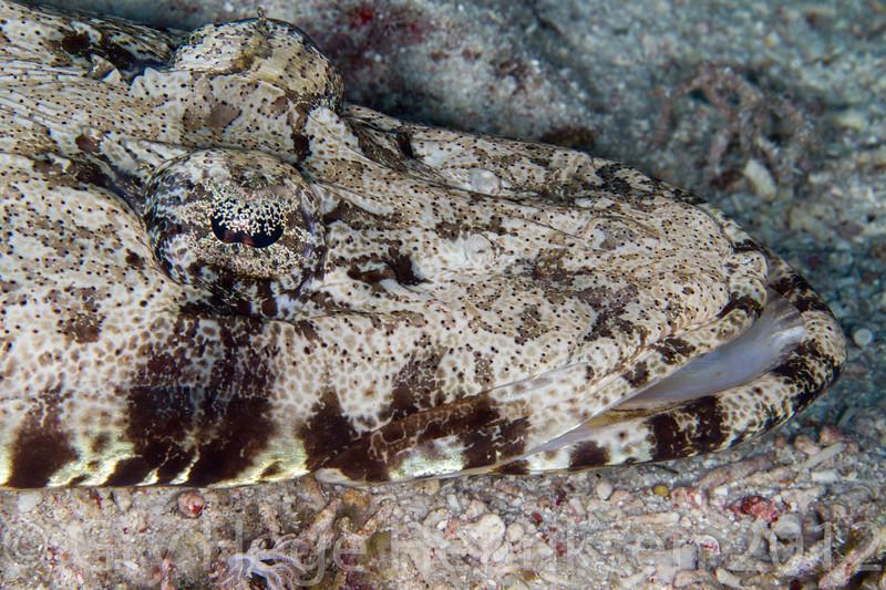 Indian Ocean longiceps