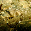 Sailfin Sculpin V
