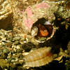 Bay Goby and Spiny Pink Scallop