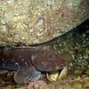 Lingcod and N Kelp Crab III