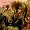 Alaskan Hermit Crab II