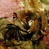 Alaskan Hermit Crab